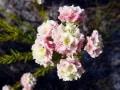 fynbos-lachnaea-densiflora
