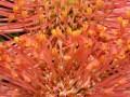 fynbos-leucospermum-open