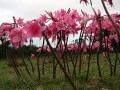 Amaryllis Belladonna, Cape Winelands Cycling