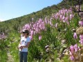 Fynbos Watsonias,Walking through Cape Fynbos ,Cape Winelands Walk