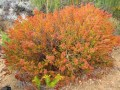 fynbos-erica-after-flowering