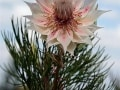 fynbos-seruria-blushing-bride,hiking tours South Africa