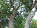 vergelegen-trees