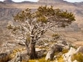 Cedar tree - Cederberg - Western Cape - South Africa
