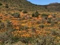 Biedouw-Valley-cederberg wildflowers in Spring