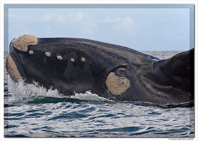 Hermanus is one of the world's best areas for whale watching