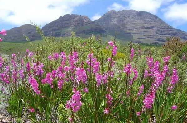 Cape Winelands fynbos