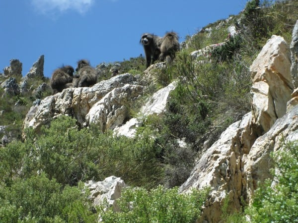 Baboons,klipspringer and 100 bird species on Hermanus walking trail