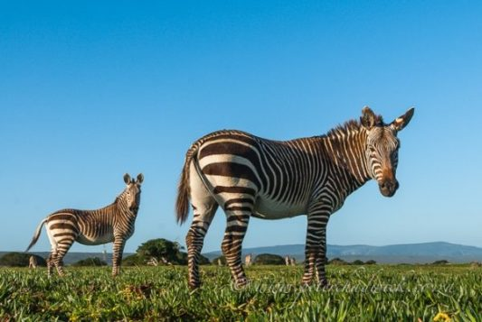 de-hoop-nature-reserve-cape-mountain-zebra